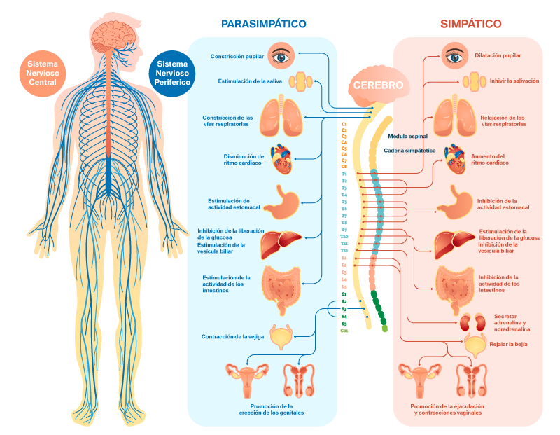 Sistema Nervioso en polígrafo